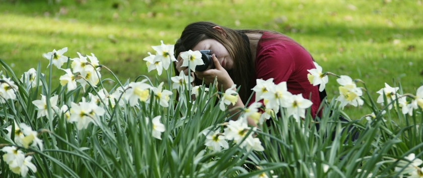 Taking spring daffodils photo